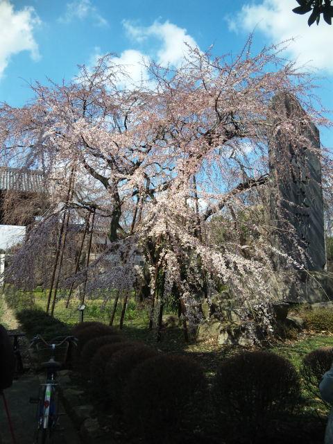 東郷寺の枝垂れ桜、5<br />  分咲きです。