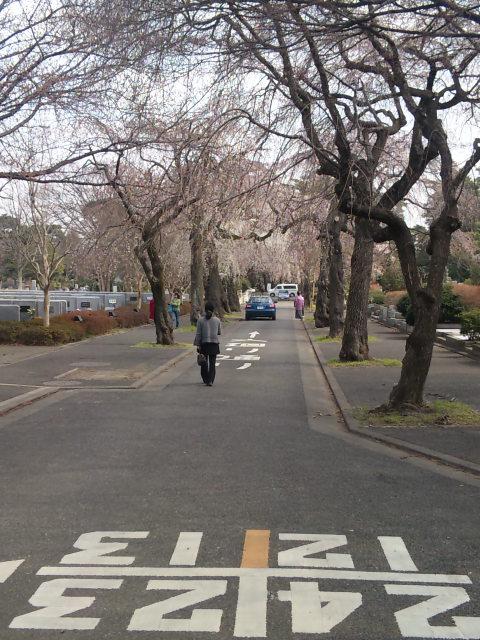 多磨霊園の枝垂れるの並木です。